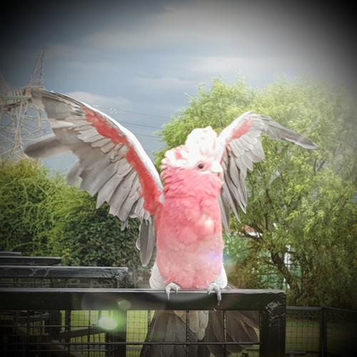 cockatoo-astrid4