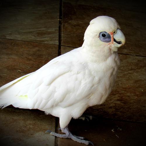 cockatoo-rayne2